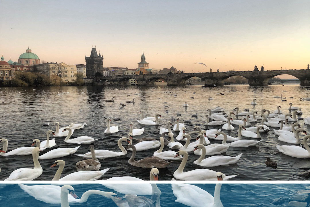 Swans alongside River in Prague