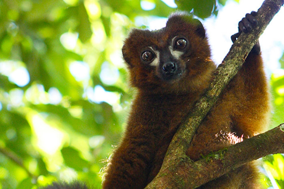 A wild red-bellied lemur in Madagascar