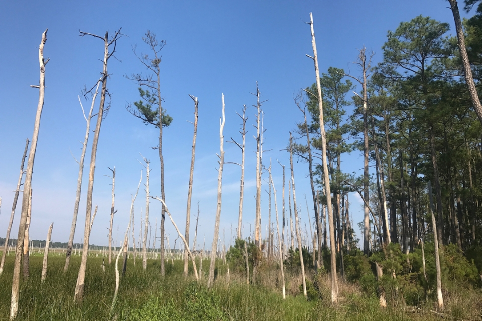 A ghost forest of trees stripped of their bark by salt and the sun, at the Chesapeake Bay.