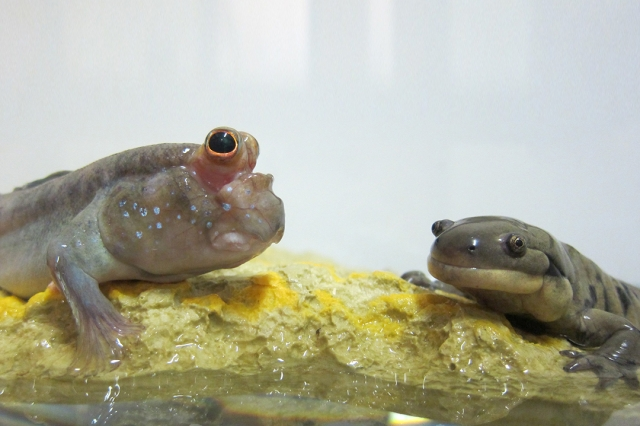 The mudskipper fish (left) and tiger salamander have been used as models to study the movements of prehistoric tetrapods.