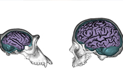Human Brains Evolved to be More responsive to Environmental, Social and Cultural Influences