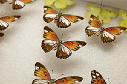 "Dr. Arnaud Martin have found a ""painting gene"" that influences the pattern and evolution of butterfly wings"